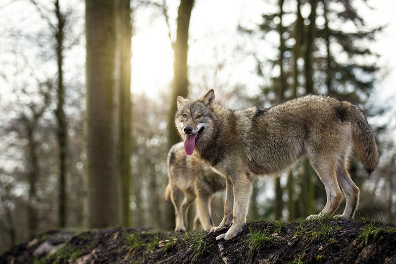 WOLFSBLUT DOG FOOD—ドイツから来たウルフブラット・ドッグフード